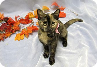 Domestic Shorthair Kitten for adoption in Lexington, North Carolina - MEADOW