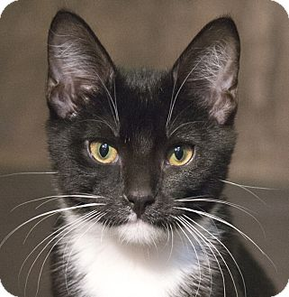 Domestic Shorthair Kitten for adoption in Chicago, Illinois - Elllie