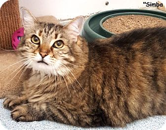 Domestic Longhair Cat for adoption in Key Largo, Florida - Simba