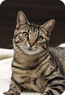 Domestic Shorthair Cat for adoption in Wayne, New Jersey - Burbank