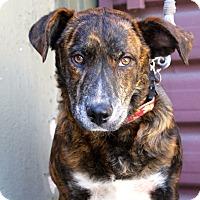 Adopt A Pet :: Jonny Cash - Cat Friendly - Los Angeles, CA