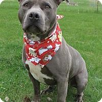 American Staffordshire Terrier Mix Dog for adoption in Menomonie, Wisconsin - James