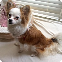 Papillon/Chihuahua Mix Dog for adoption in Newfield, New Jersey - Lily