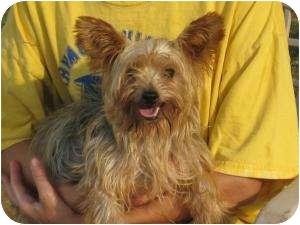 Yorkie, Yorkshire Terrier Dog for adoption in Salem, New Hampshire - Sophia