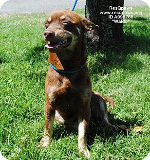 Chihuahua Mix Dog for adoption in Yuba City, California - Waldo