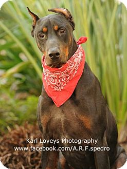 Doberman Pinscher Dog for adoption in Santa Barbara, California - Duke