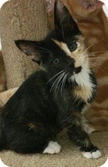 Calico Kitten for adoption in Yorba Linda, California - Halsey