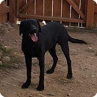 Labrador Retriever Mix Dog for adoption in Evergreen, Colorado - Astrid