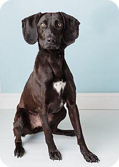 Hound (Unknown Type)/Weimaraner Mix Dog for adoption in Hendersonville, North Carolina - Cordelia