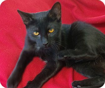 Domestic Shorthair Kitten for adoption in Jackson, New Jersey - Little T
