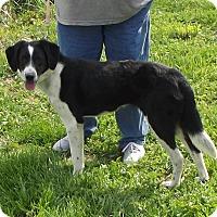 Adopt A Pet :: Bounce - Cabool, MO