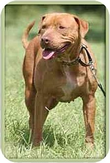 Spaniel (Unknown Type)/Shar Pei Mix Dog for adoption in North Fort Myers, Florida - Jazzy