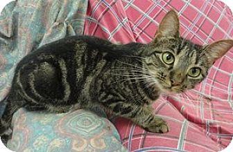Domestic Shorthair Cat for adoption in Stuart, Virginia - Pancake