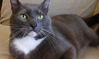 Domestic Mediumhair Cat for adoption in Los Angeles, California - OTTO