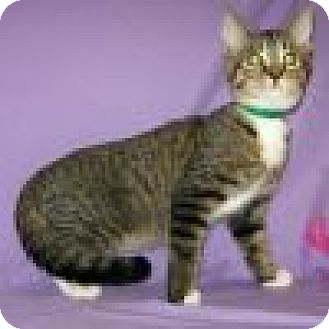 Domestic Shorthair Cat for adoption in Powell, Ohio - Lambert