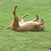Boxer/Terrier (Unknown Type, Medium) Mix Dog for adoption in Naperville, Illinois - Jillie