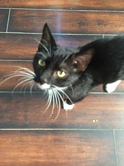 Domestic Shorthair Cat for adoption in Los Angeles, California - Federico