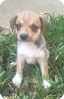 Miniature Pinscher/Terrier (Unknown Type, Small) Mix Puppy for adoption in Spring, Texas - Peanut