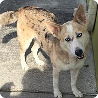 Adopt A Pet :: Sasha - Ocean Ridge, FL