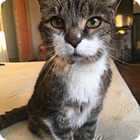 Adopt A Pet :: Stripy *Courtesy Post* - New York, NY