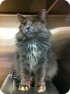 Turkish Angora Cat for adoption in Pittstown, New Jersey - Padme