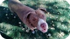 American Staffordshire Terrier Mix Dog for adoption in Valley Village, California - SWEETIE PIE
