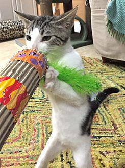 "Domestic Shorthair Cat for adoption in Deerfield Beach, Florida - Slava aka ""Sly"""