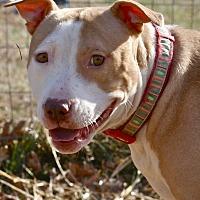 Pit Bull Terrier/Terrier (Unknown Type, Medium) Mix Dog for adoption in Mebane, North Carolina - Sarah