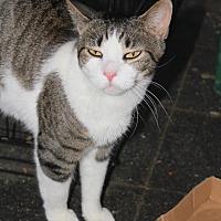 Domestic Shorthair Cat for adoption in New York, New York - Vida