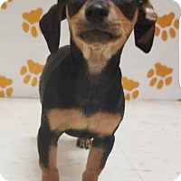Adopt A Pet :: SWEET HOME ALABAMA LITTER (5) - Pompton Lakes, NJ