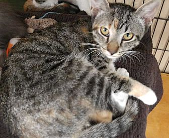 Calico Kitten for adoption in Dallas, Texas - Olivette