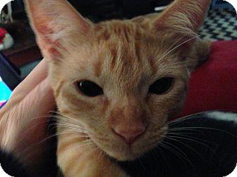 Domestic Shorthair Kitten for adoption in Keller, Texas - Frankie