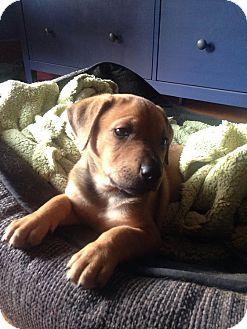 Shepherd (Unknown Type) Mix Puppy for adoption in Houston, Texas - Celeste