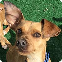 Adopt A Pet :: Mason - San Marcos, CA