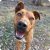 Rhodesian Ridgeback/Pit Bull Terrier Mix Dog for adoption in House Springs, Missouri - Odessa