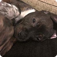 Adopt A Pet :: Lydia - Broken Arrow, OK