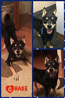 Shiba Inu/Pug Mix Dog for adoption in Elizabethtown, Pennsylvania - Chase