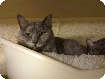 Domestic Shorthair Cat for adoption in Lombard, Illinois - Sasha