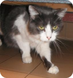 Domestic Longhair Cat for adoption in Jackson, Michigan - Victor