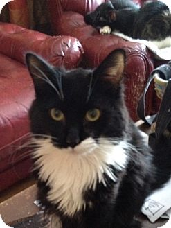 Domestic Mediumhair Cat for adoption in Wenatchee, Washington - Marty