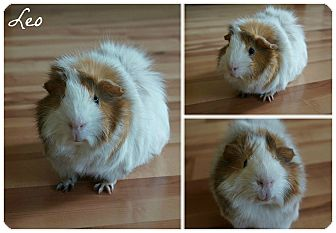 Guinea Pig for adoption in Brooklyn Park, Minnesota - Leo
