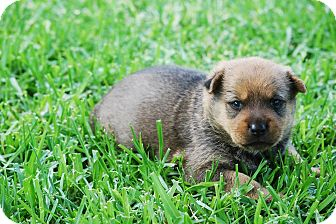 German Shepherd Dog/Jindo Mix Puppy for adoption in Torrance, California - TALI