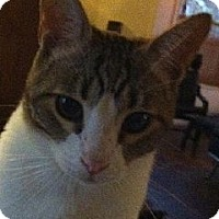 Domestic Shorthair Cat for adoption in Los Angeles, California - Curtis