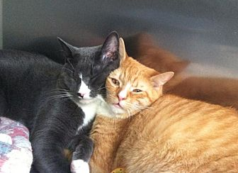 Domestic Shorthair Cat for adoption in Beacon, New York - Marvin and Oliver