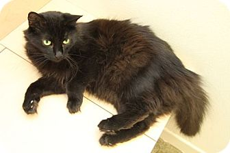 Domestic Mediumhair Cat for adoption in North Hollywood, California - Baby Ruth