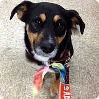 Shepherd (Unknown Type) Mix Dog for adoption in Chambersburg, Pennsylvania - Lance