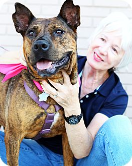 Shepherd (Unknown Type)/American Pit Bull Terrier Mix Dog for adoption in Brooklyn, New York - Ariel