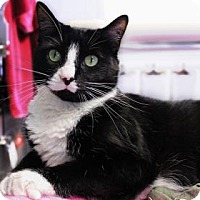 Domestic Shorthair Cat for adoption in Bellevue, Washington - Megatron
