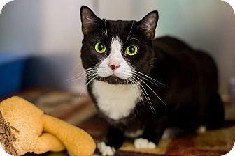 Domestic Shorthair Cat for adoption in Mohawk, New York - Babygirl
