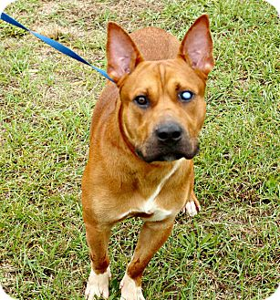 Staffordshire Bull Terrier Mix Dog for adoption in White Cloud, Michigan - RJ